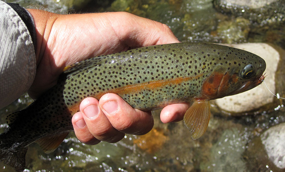 small stream rainbow trout