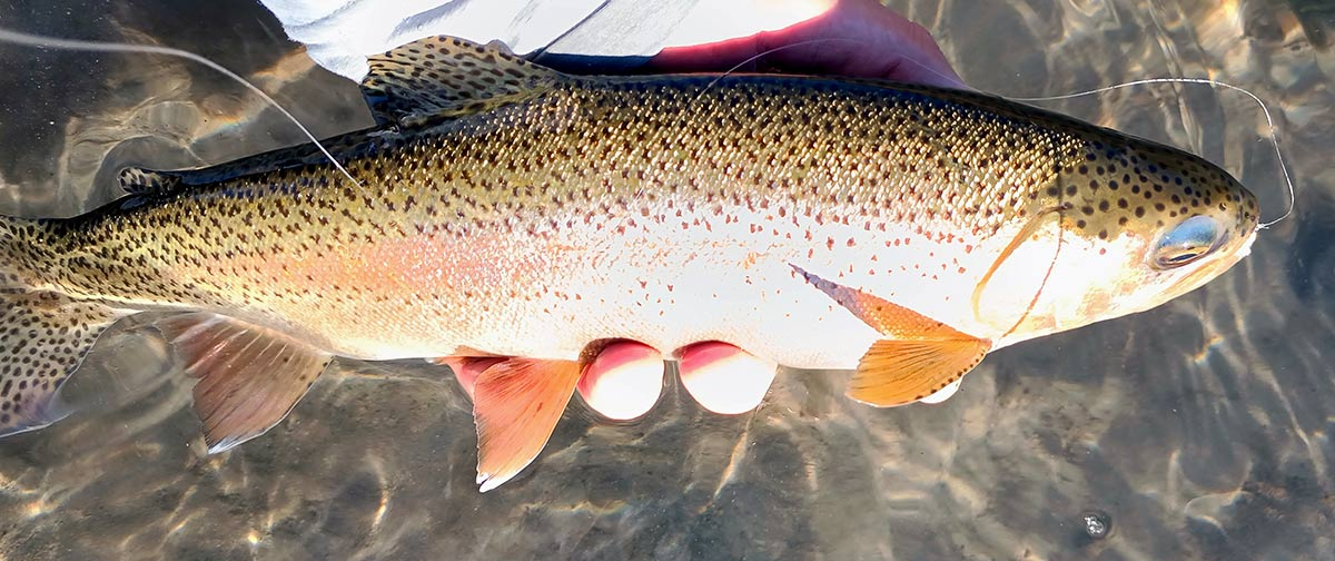fall rainbow trout